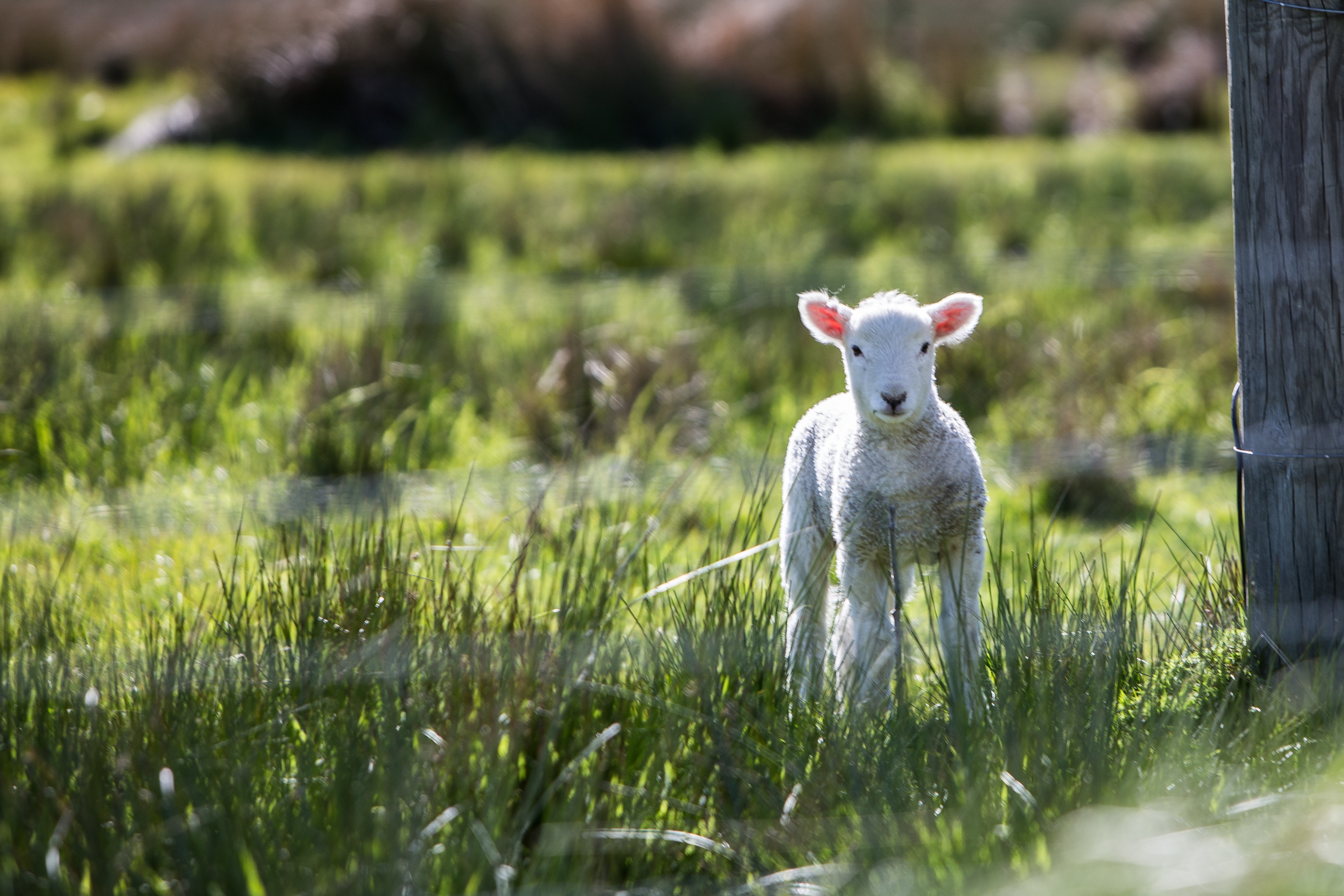 A young lamb on a sunny spring day